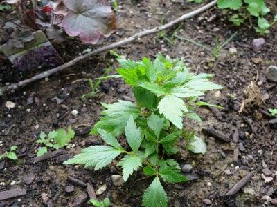 astilbe seedling
