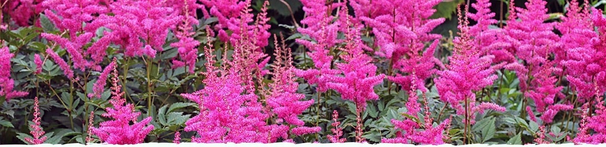 How to Grow Astilbe Banner - Astilbe Chinensis