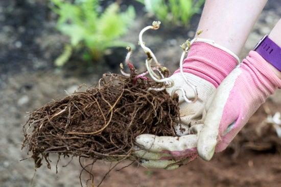 bare root astilbe