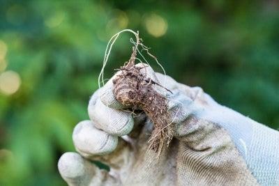 bare root dwarf blazing star plant