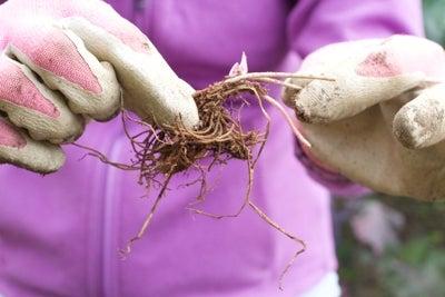 bare root hepatica