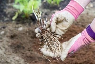 bare root hosta plant
