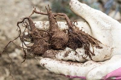 bare root monkshood plant