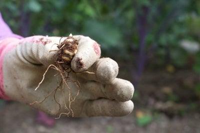 bare root painted trillium