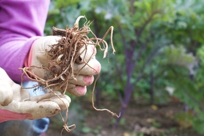 bare root wild spiderwort