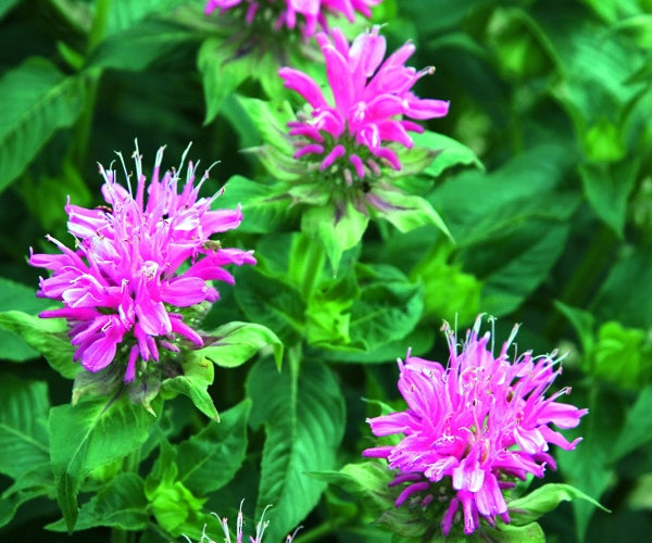 hot pink bee balm in bloom