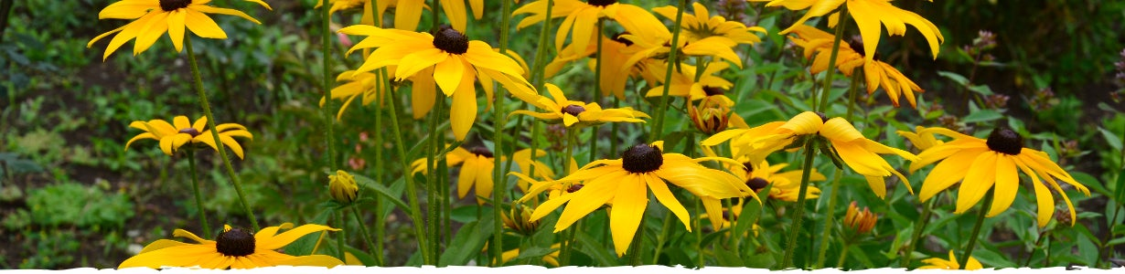 all ab out black eyed susan banner