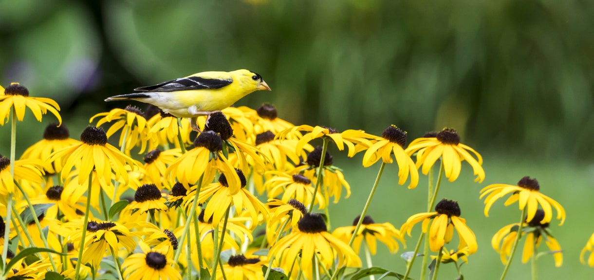 black eyed susan visited by a finch