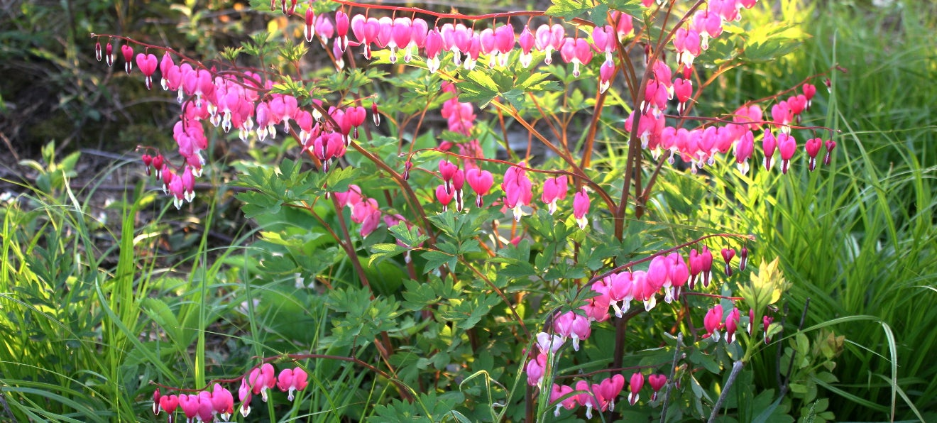 bleeding hearts dripping with blooms