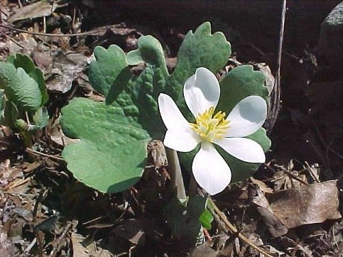Bloodroot is an early woodland bloomer