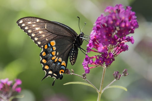 black swallowtail butterfly visiting a butterfly bush