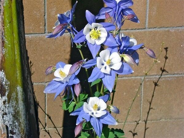 Songbird Bluebird Columbine in bloom