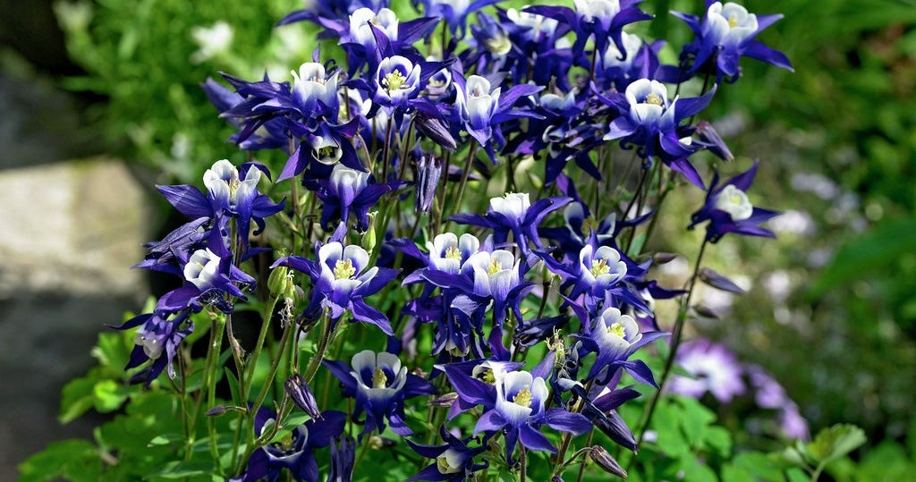 Columbine Colorado Violet and White in bloom