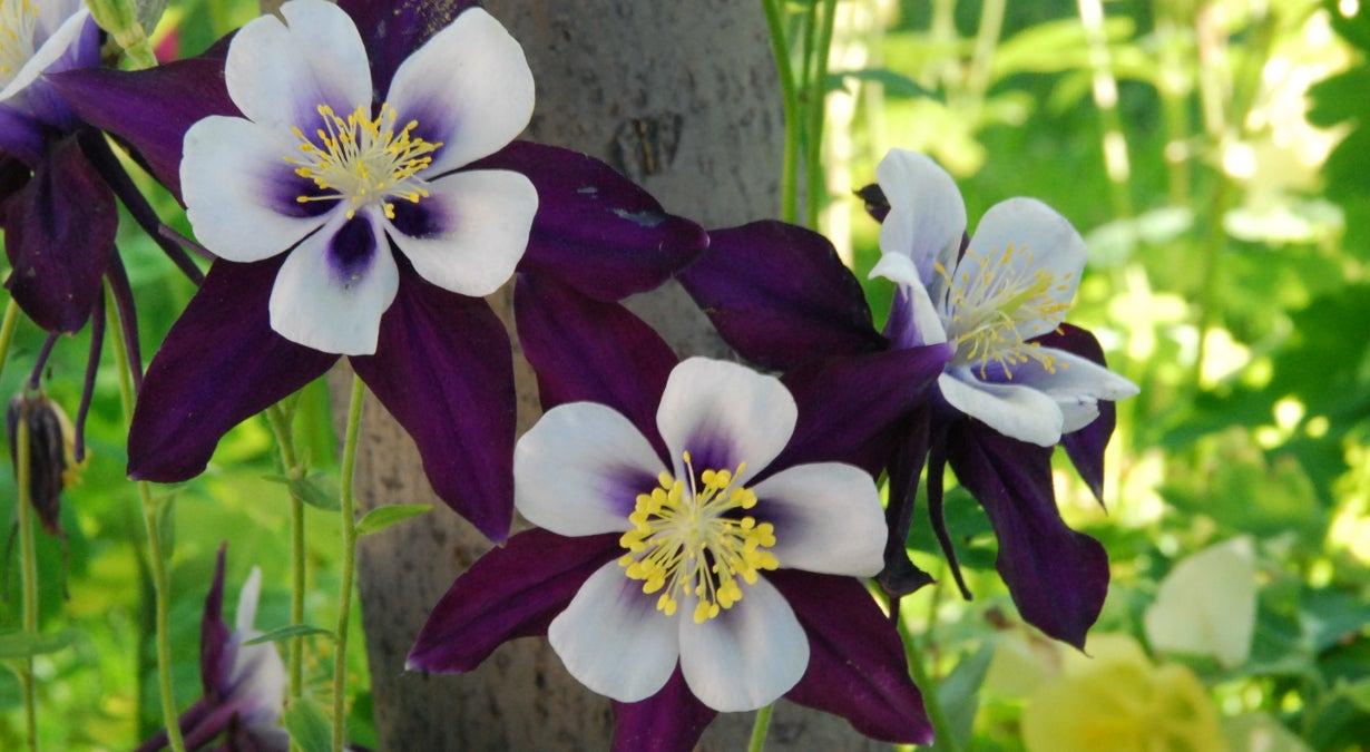 Columbine Colorado Violet and White