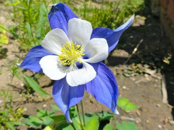 Songbird Blue Columbine in bloom