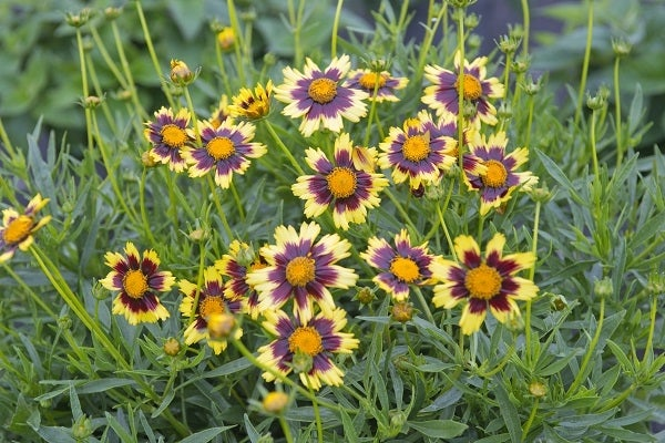 Cosmic Eye Coreopsis in bloom