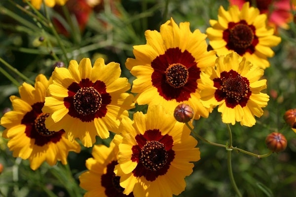 Coreopsis Tinctoria in bloom