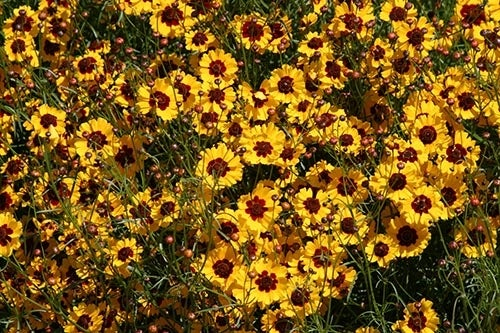 Top perennial plants for wildflower meadows perennial coreopsis mightylinksfo
