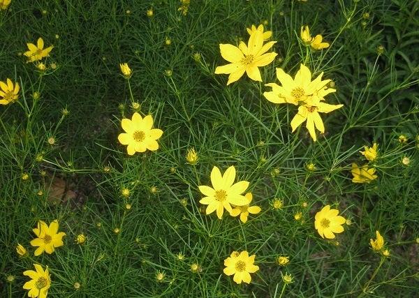 Threadleaf Coreopsis in bloom