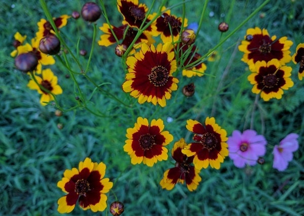Plains Coreopsis in bloom
