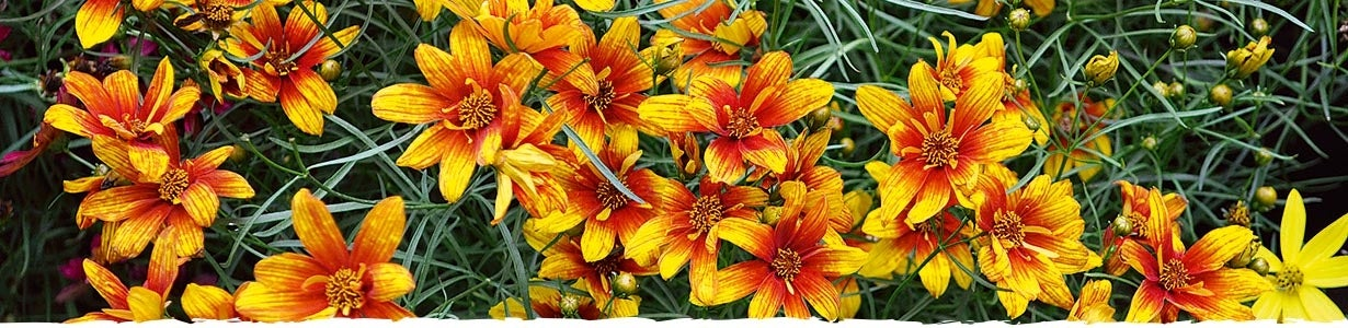 All About Coreopsis banner