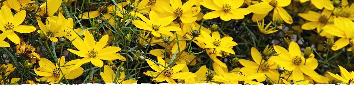 How to Grow Coreopsis Banner