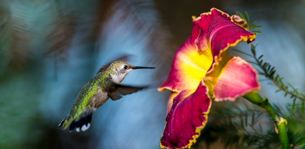 hummingbird visiting daylilies