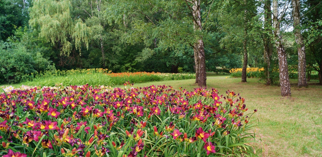 daylilies planted under trees