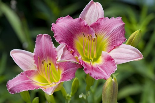 daylily entrapment in bloom
