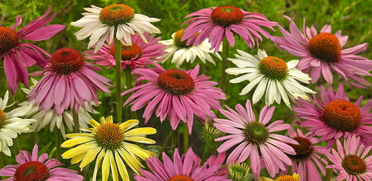 perennial echinacea in bloom