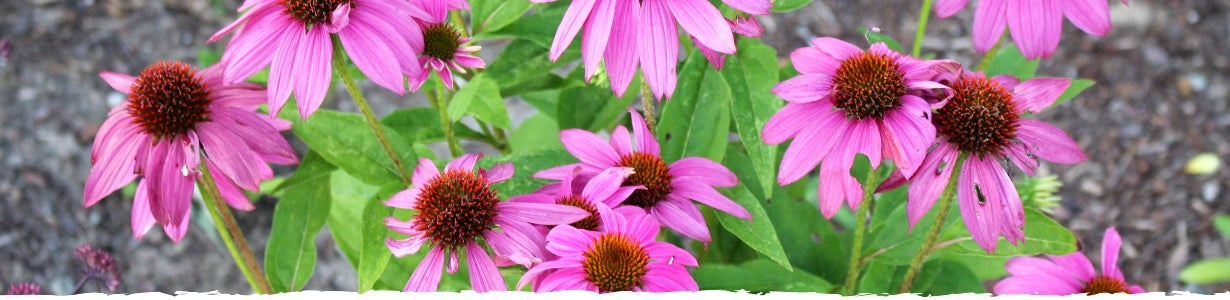 all about echinacea banner