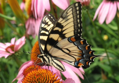 swallowtail drinking nectar from echinacea