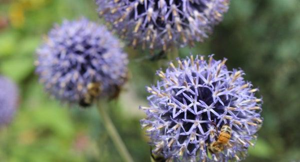 Close up of Pollinators on Echinops