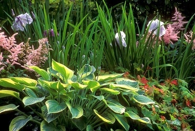 Hosta paired with ornamental grass, and other perennials