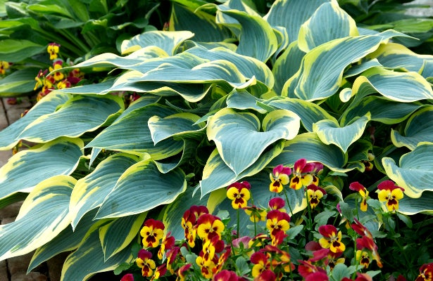 Hosta First Frost paired with Violets