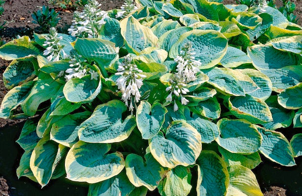 Hosta Earth Angel while in bloom