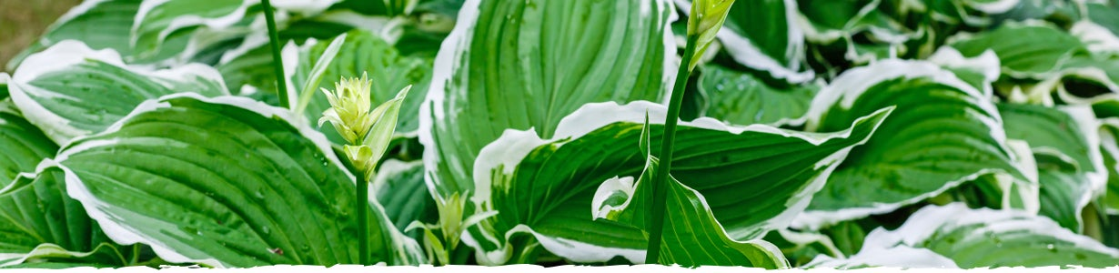 How to Grow Hosta Banner