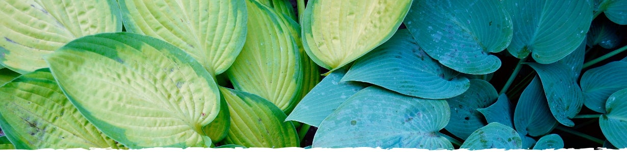 All About Hosta Banner