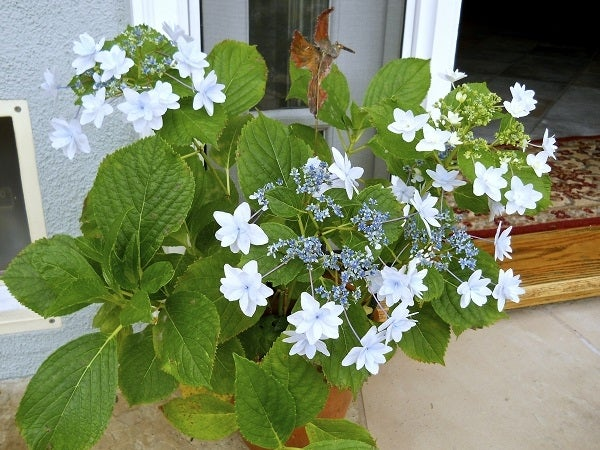 Hydrangea in a Container