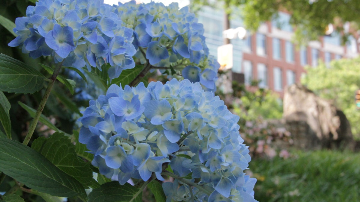 blue and white mophead hydrangea