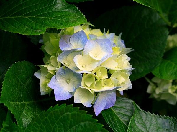 mophead hydrangea in bloom