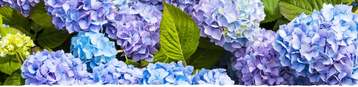 all about hydrangea banner