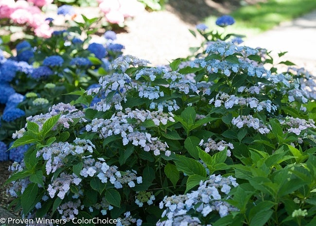 Mountain Hydrangea Tiny Tuff Stuff Blue Flowers