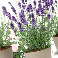 Lavender Hidcote in a container
