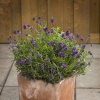 lavender mini blue in terra cotta pot