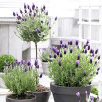 lavender anouk topiary container