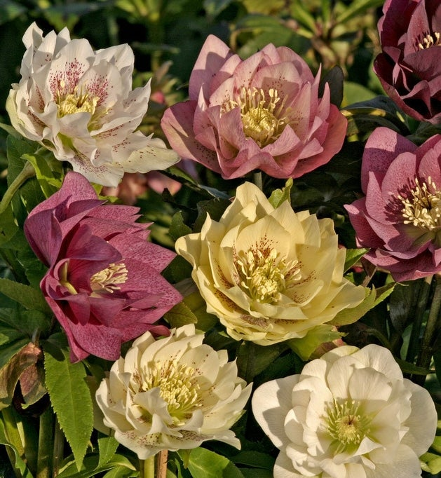Lenten Rose Double Queen