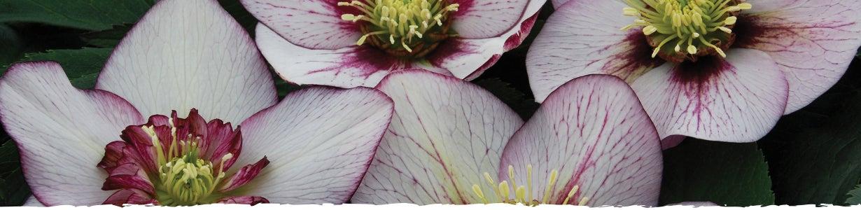 all about lenten rose banner