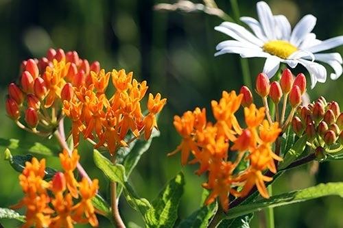 Orange Butterfly Weed in Bloom
