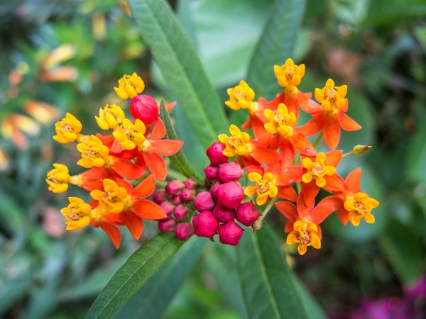 tropical milkweed in bloom